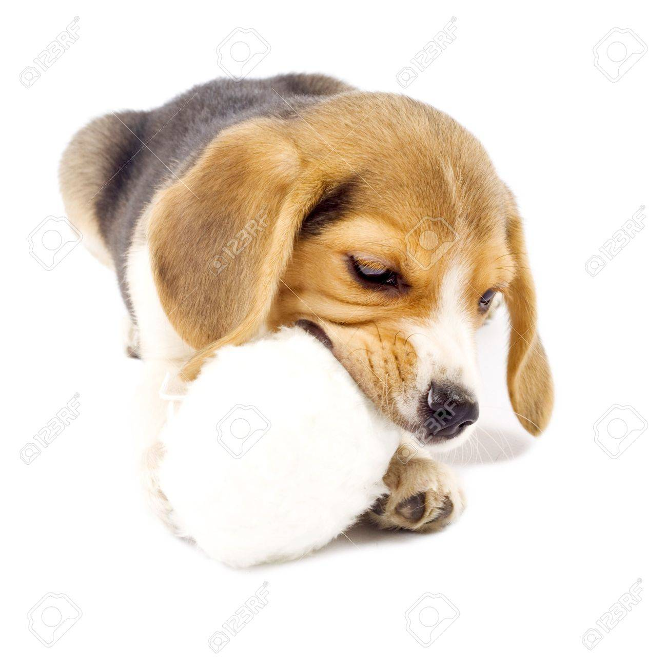 Must see Toy Beagle Adorable Dog - 6204697-adorable-young-beagle-pup-chewing-on-it-s-fur-ball-toy  Pic_607450  .jpg