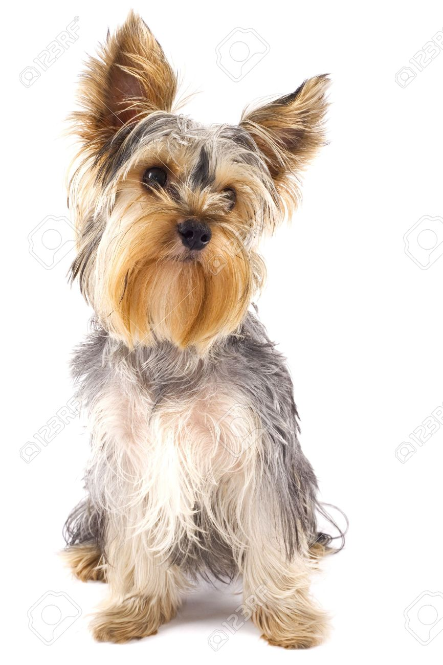 yorkie puppy images u0026 stock pictures royalty free yorkie puppy