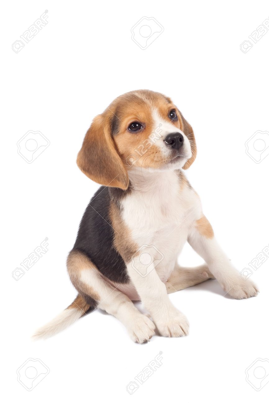 Fantastic Sea Beagle Adorable Dog - 8589779-tired-beagle-puppy-is-seatinh-on-a-white-background  Gallery_287457  .jpg