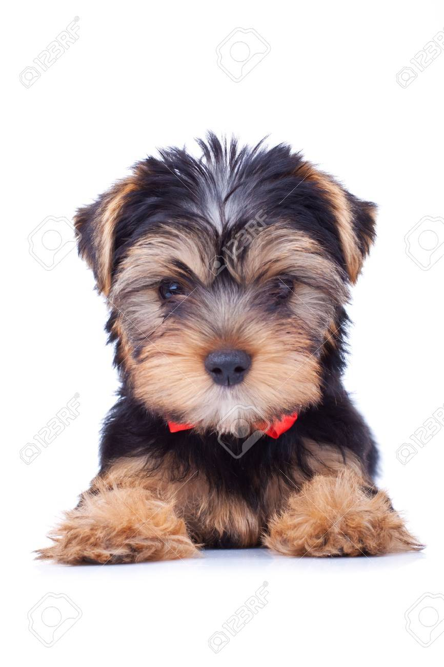 Adorable yorkshire puppy sitting and looking at somethig. Stock Photo - 9153601