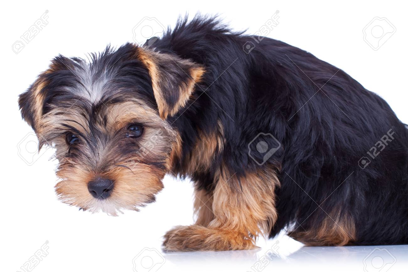 Curious yorkshire puppy, looking at something, isolated on white Stock Photo - 9153691