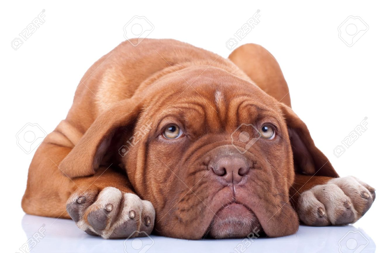 tired and cute dogue bordeaux puppy, looking at the camera Stock Photo - 9254879