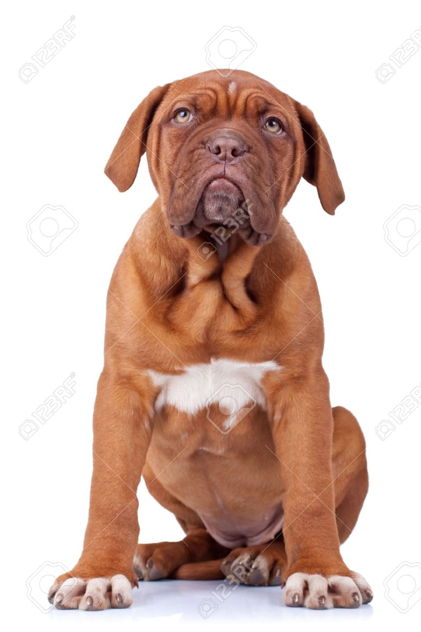 picture of a seated french mastiff puppy(dogue bordeaux) on white Stock Photo - 9263161