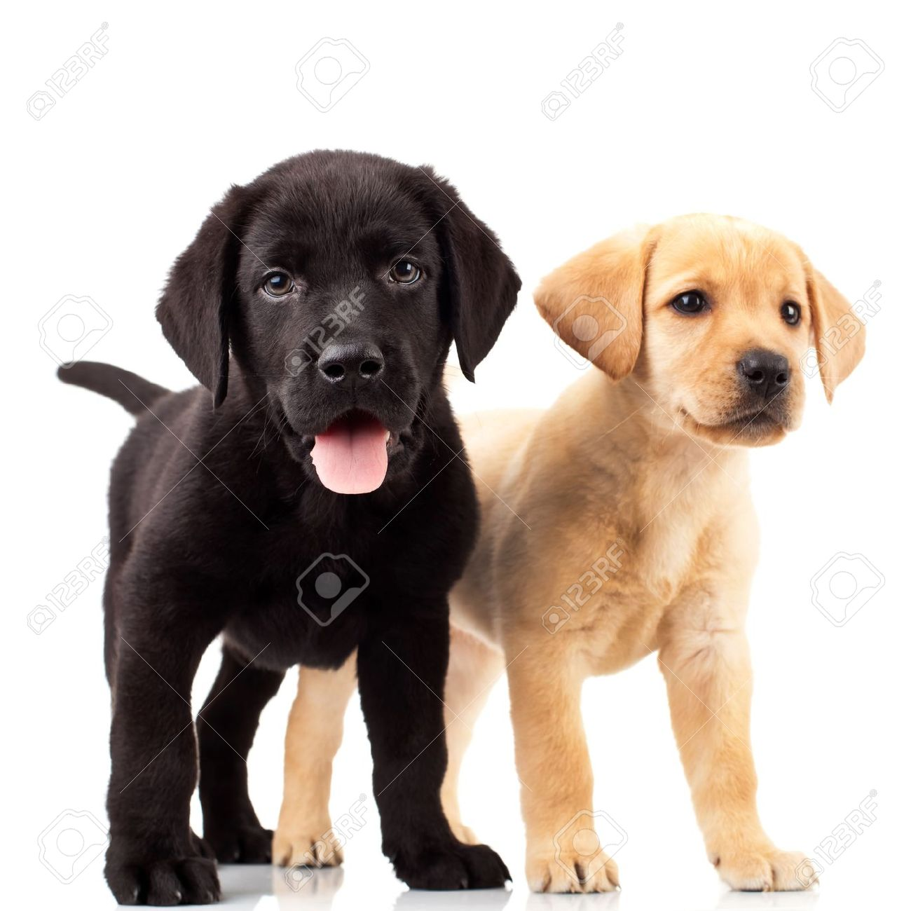 Two Cute Labrador Puppies - One With Mouth Open And One Looking ... for Cute Lab Dog Puppy  17lplyp