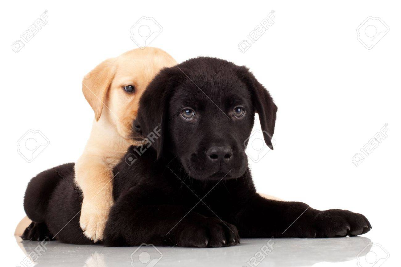 Two Cute Labrador Puppies Playing Together On White Background