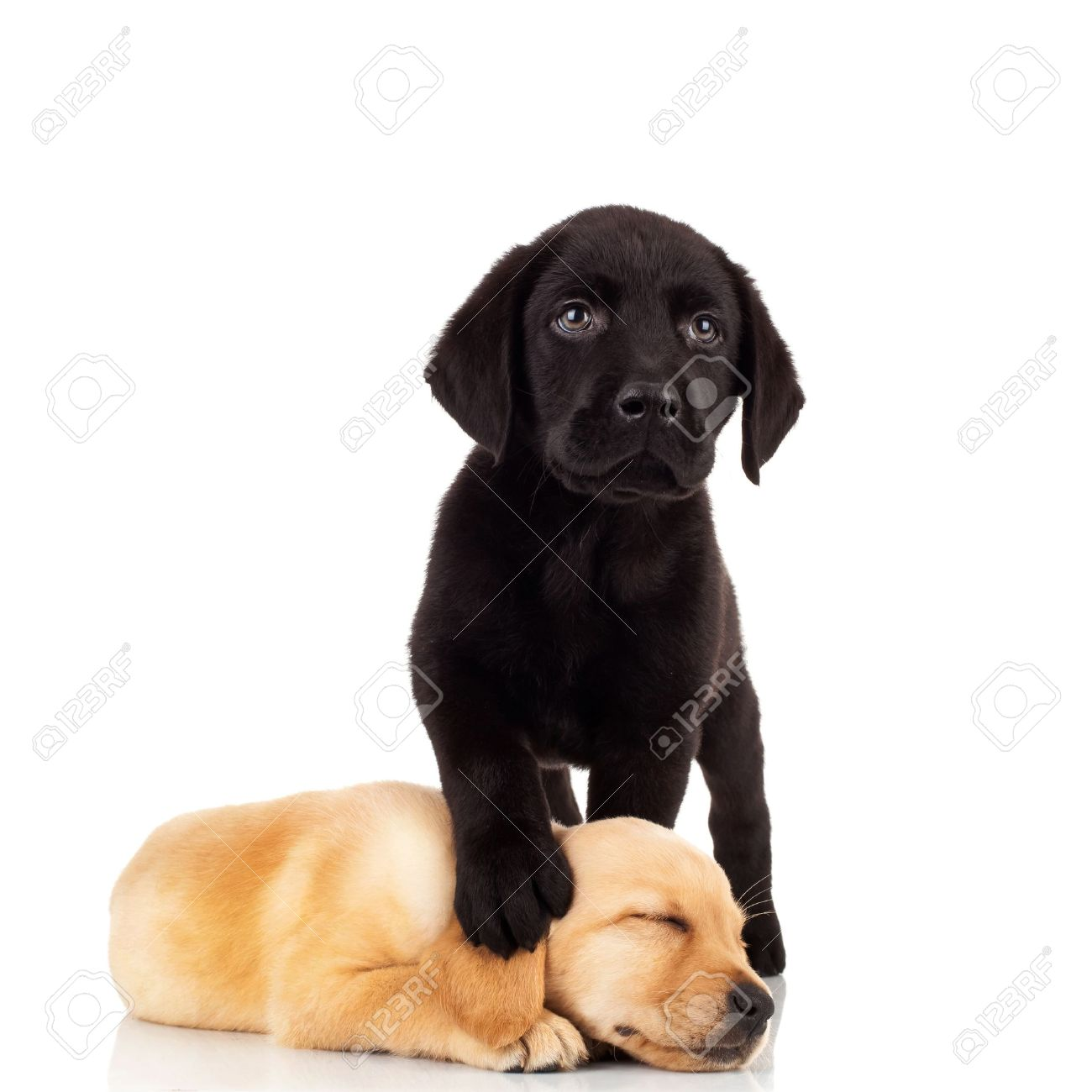 Cool Black Chubby Adorable Dog - 10092200-cute-labrador-puppies-black-labrador-stepping-on-its-little-sister-s-head-while-sleeping-Stock-Photo  You Should Have_764431  .jpg