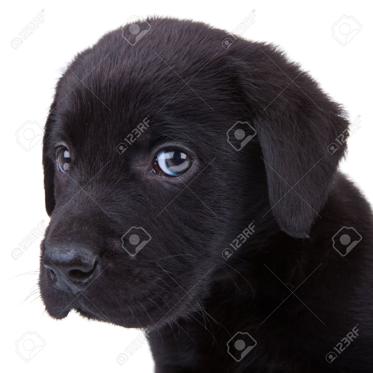 Simple Labrador Retriever Black Adorable Dog - 10520987-cute-little-black-labrador-retriever-puppy-looking-at-the-camera-closeup-picture-on-its-head  Pictures_258498  .jpg
