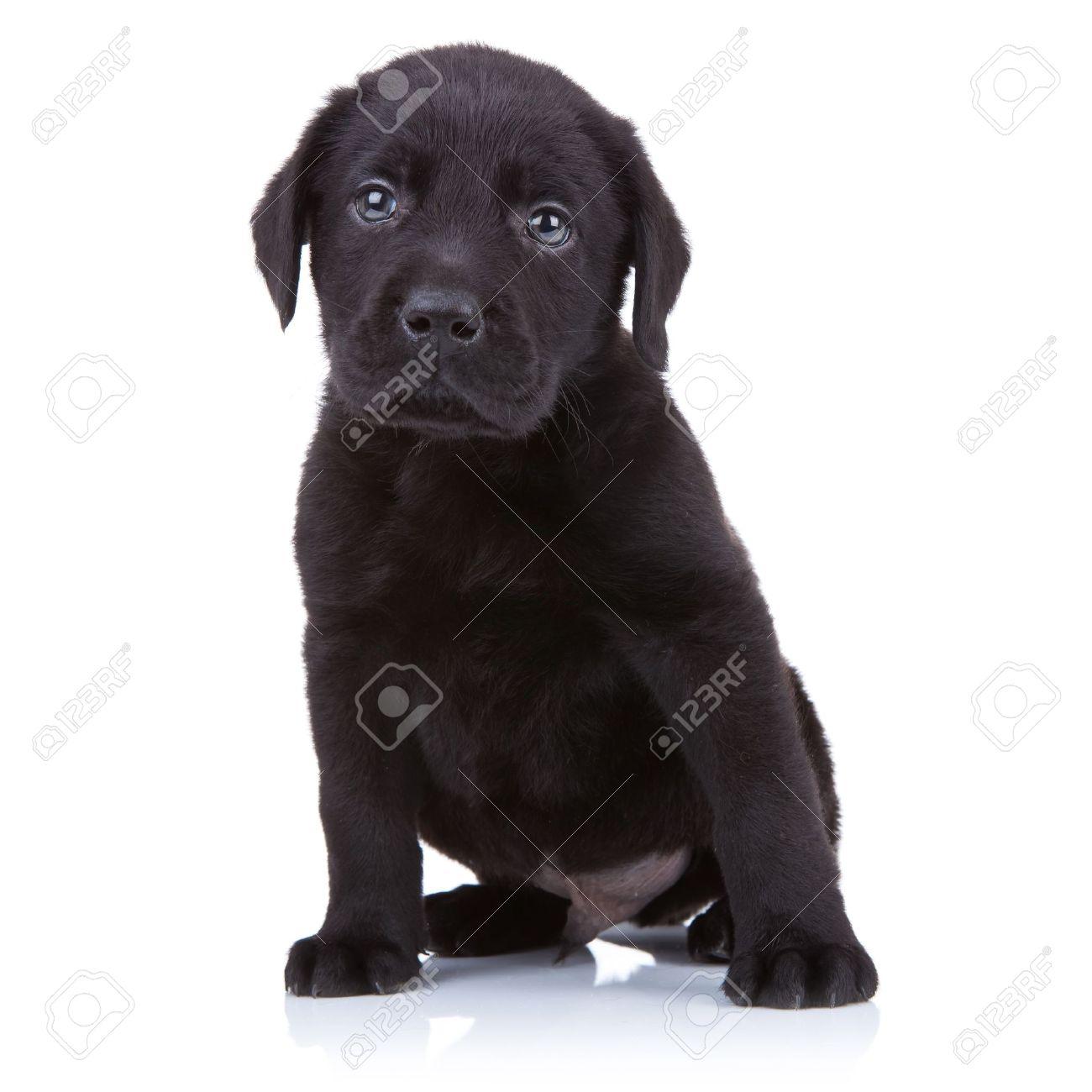 Good Labrador Retriever Black Adorable Dog - 10520879-cute-little-black-labrador-retriever-puppy-sitting-on-a-white-background  Snapshot_344723  .jpg