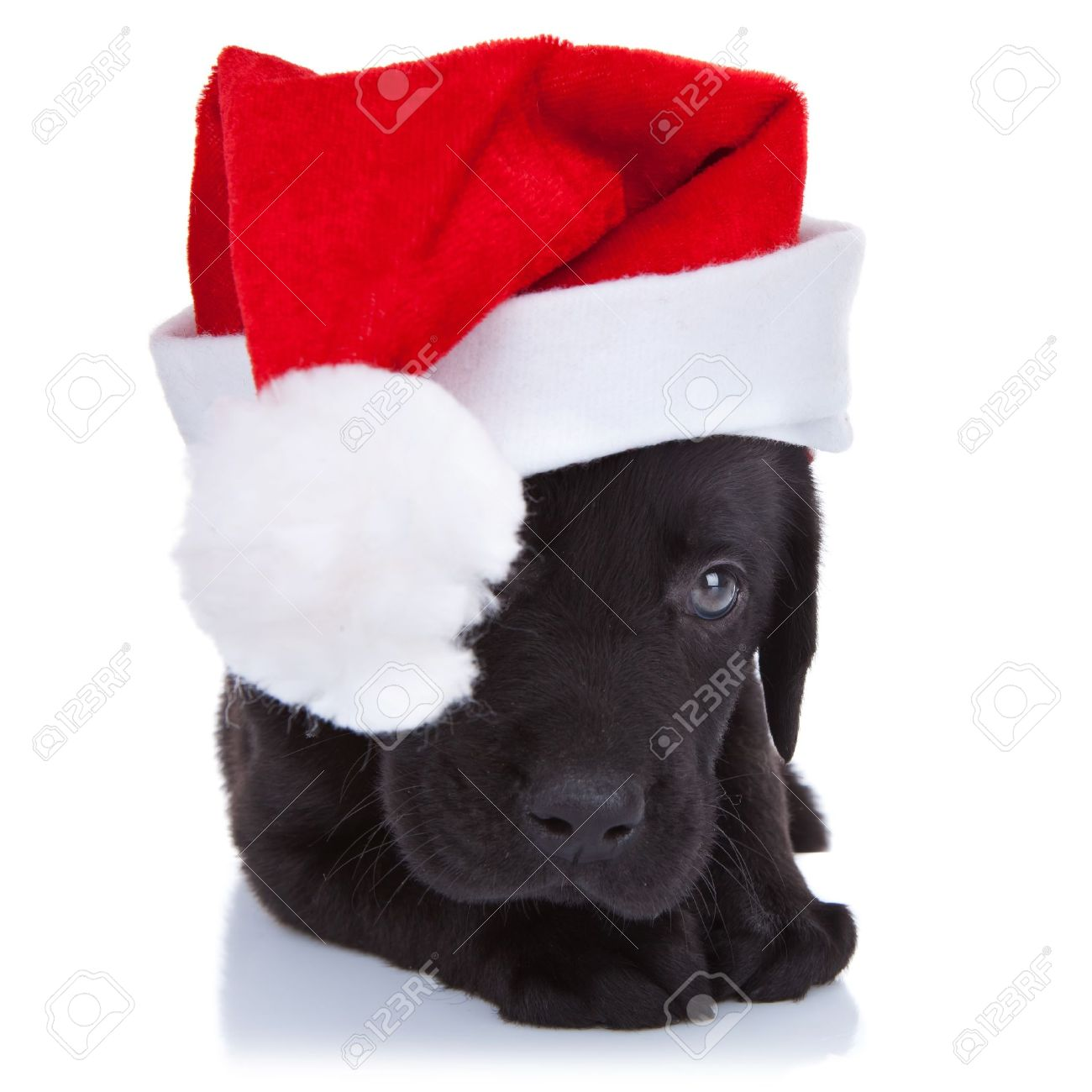 Simple Labrador Black Adorable Dog - 10520888-cute-little-santa-shy-black-labrador-puppy-with-santa-cap-over-white-background  Gallery_871471  .jpg