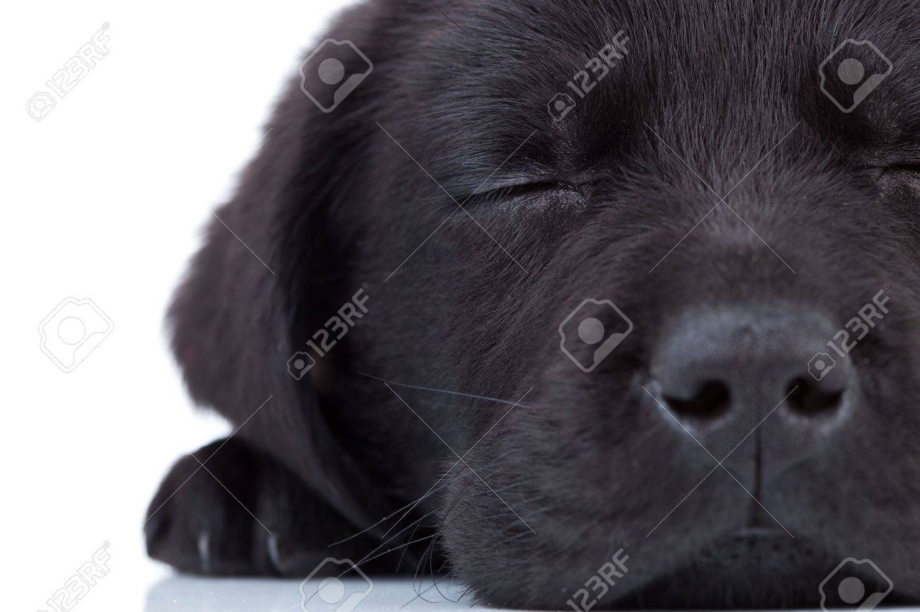 cute little black labrador retriever sleeping on a white background Stock Photo - 10521047