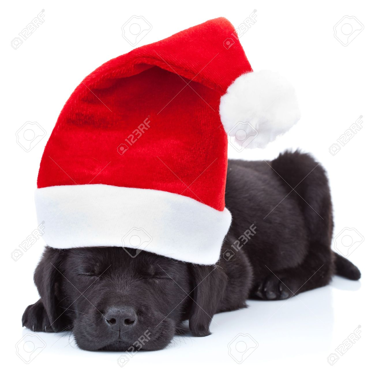 Cute Little Santa Black Labrador Puppy Sleeping On White Background Stock Photo Picture And Royalty Free Image Image 10520941