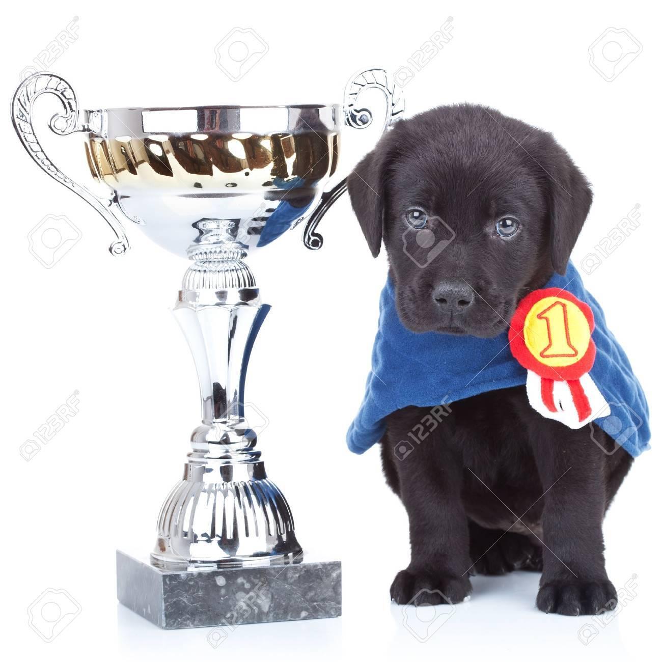小さなチャンピオン - かわいい黒のラブラドール子犬白の背景に大きな