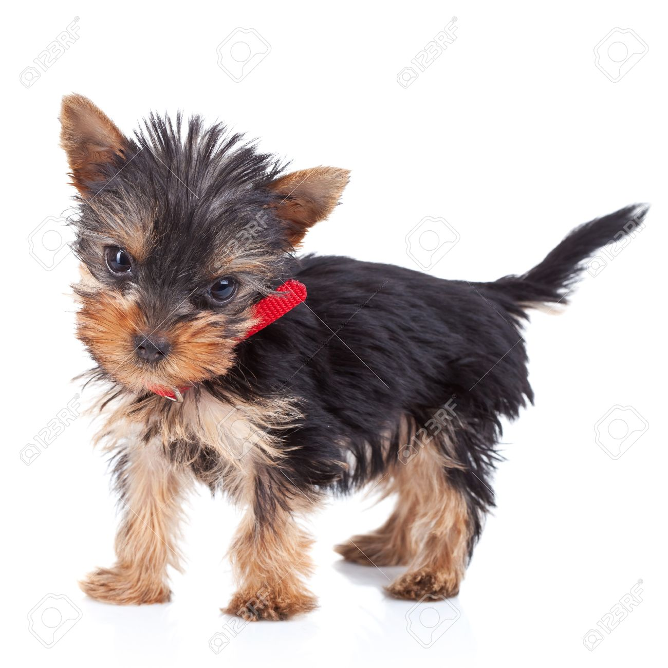 Cute Yorkie Toy Standing On White Background And Looking To The Stock Photo Picture And Royalty Free Image Image 10933724