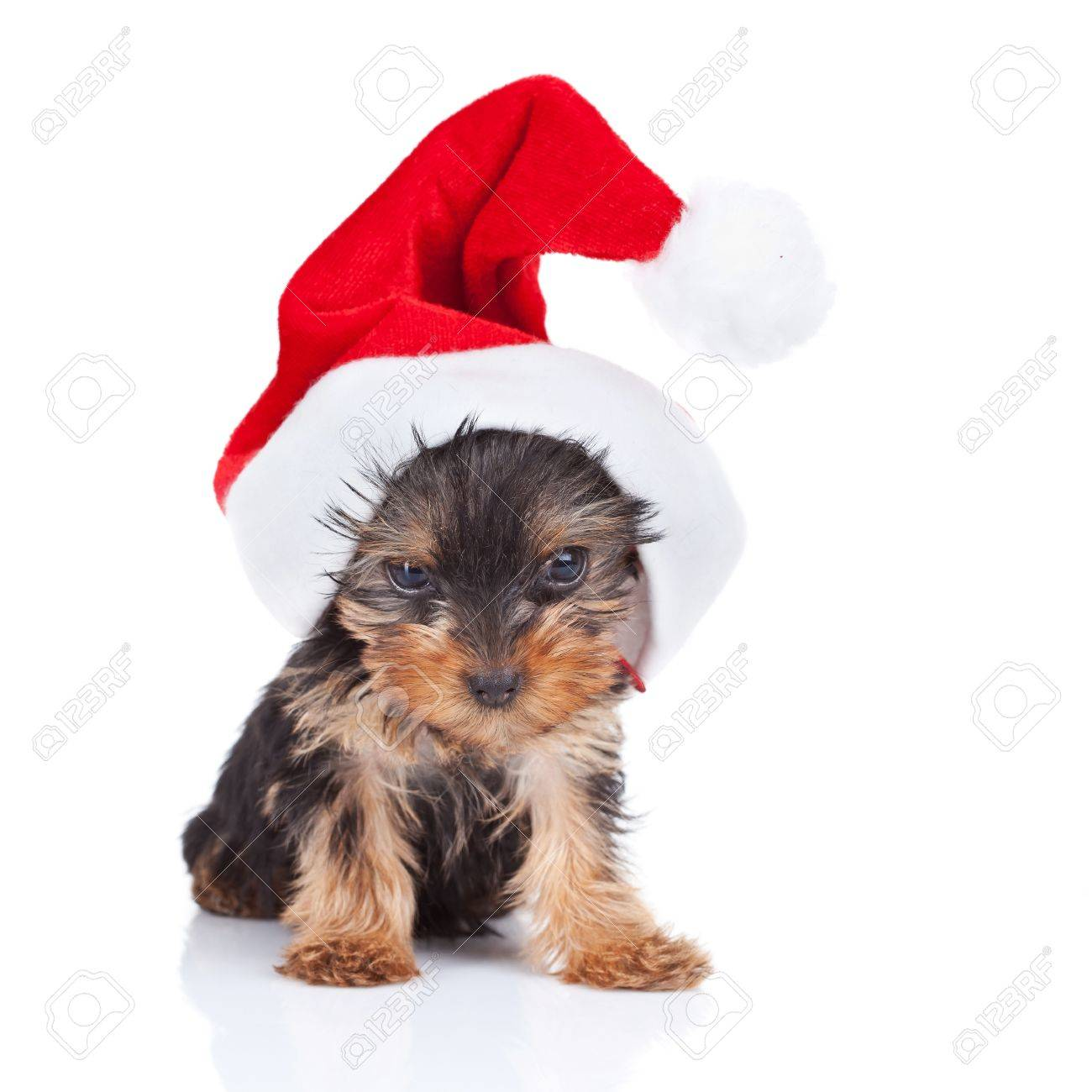 Image of: Day Ecard Cute Yorkie Toy Wearing Nice Santa Cap Over White Stock Photo 10933587 Max Pixel Cute Yorkie Toy Wearing Nice Santa Cap Over White Stock Photo