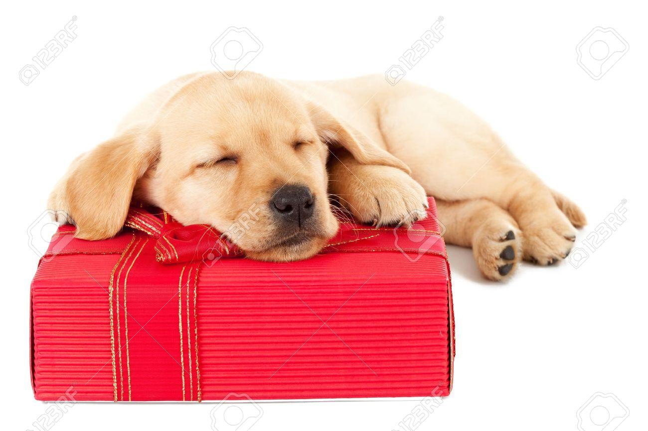Mignon Petit Chiot Labrador De Dormir Sur Un Cadeau De Noël Sur