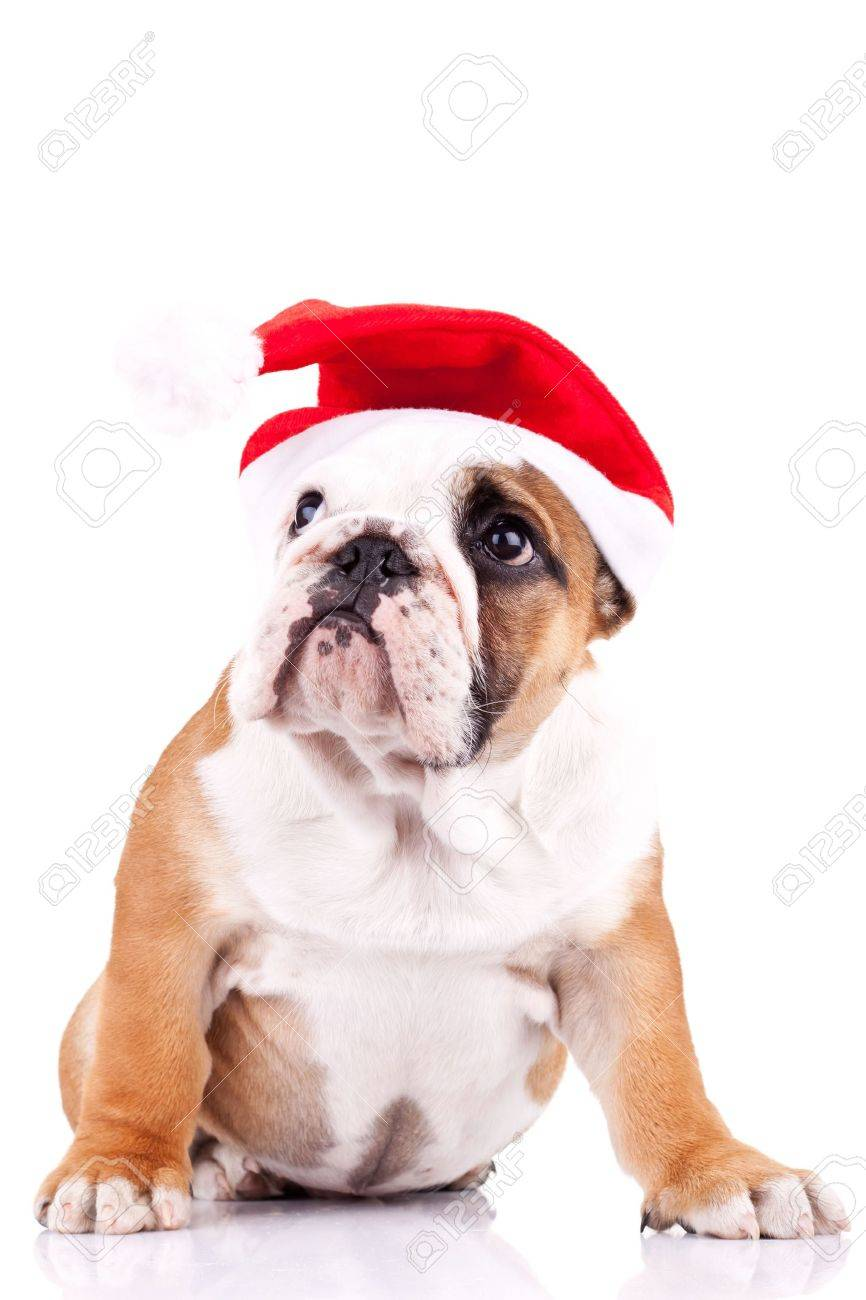 Cute Little Santa English Bulldog Puppy Looking To Something Stock Photo Picture And Royalty Free Image Image 11012440
