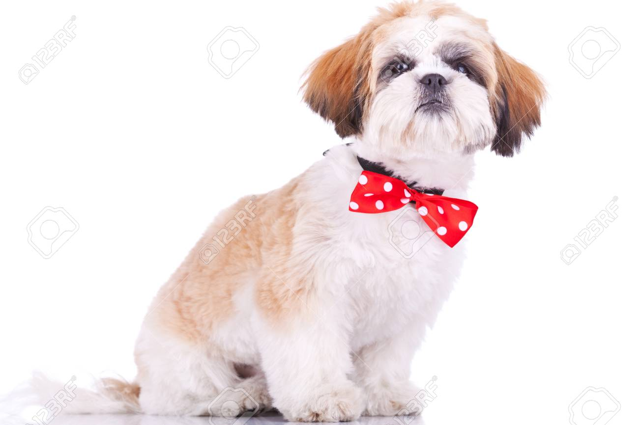 Sitting Little Shih Tzu Puppy Wearing A Red Neck Bow On White Stock Photo Picture And Royalty Free Image Image 11532475