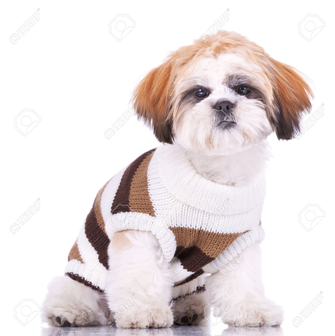 Curious Little Shih Tzu Puppy Wearing Clothes Sitting On White Stock Photo Picture And Royalty Free Image Image 11532460