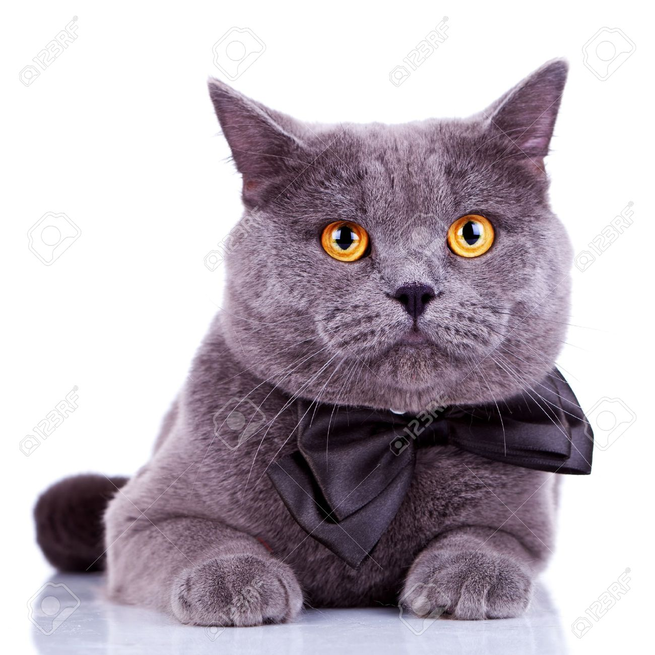 banque dimages anglais chat avec de grands yeux orange portant un noeud papillon sur fond blanc