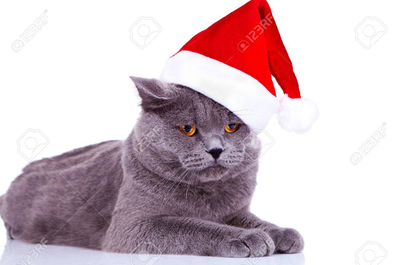 cute big english cat wearing a santa hat on white background stock
