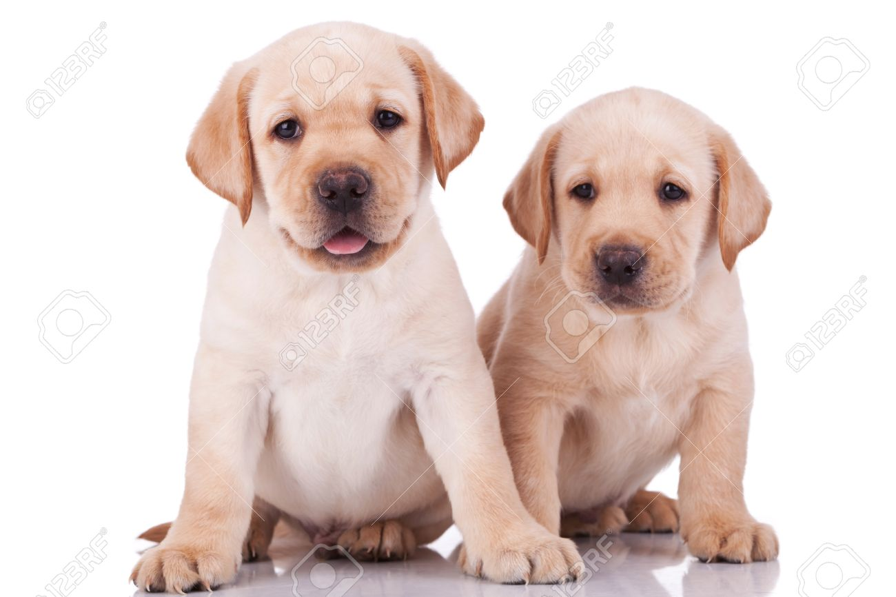 Two Adorable Little Labrador Retriever Puppies Panting On White