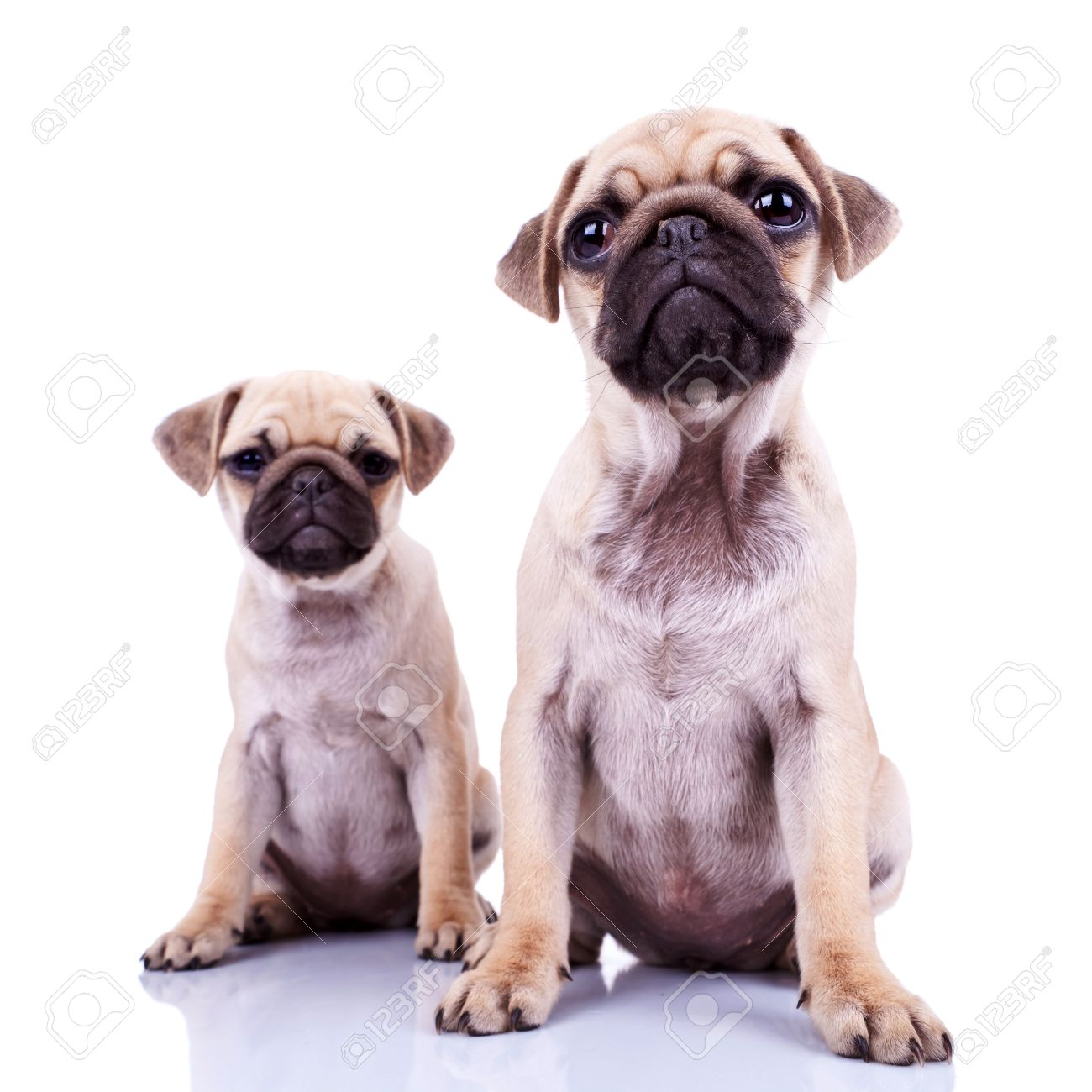 Best Pug Bow Adorable Dog - 12581660-pair-of-pug-puppy-dogs-sitting-on-white-background-cute-and-curious-couple-of-mops-puppies-looking-a  You Should Have_12320  .jpg