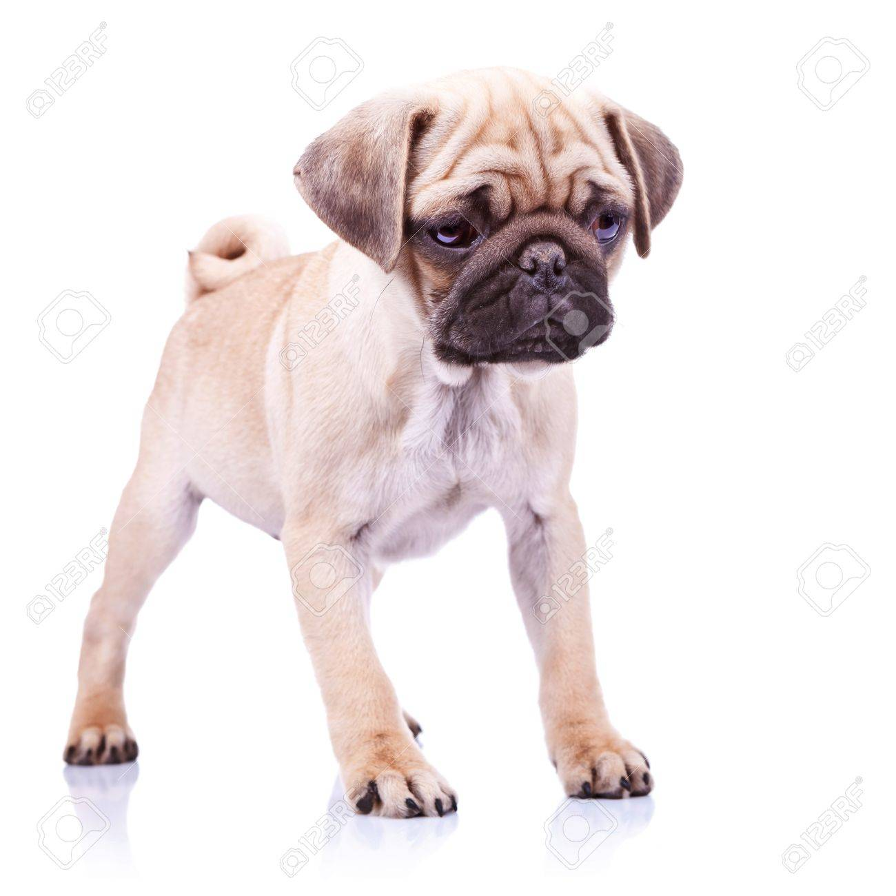Cute Pug Puppy Dog Standing And Looking At Something On White