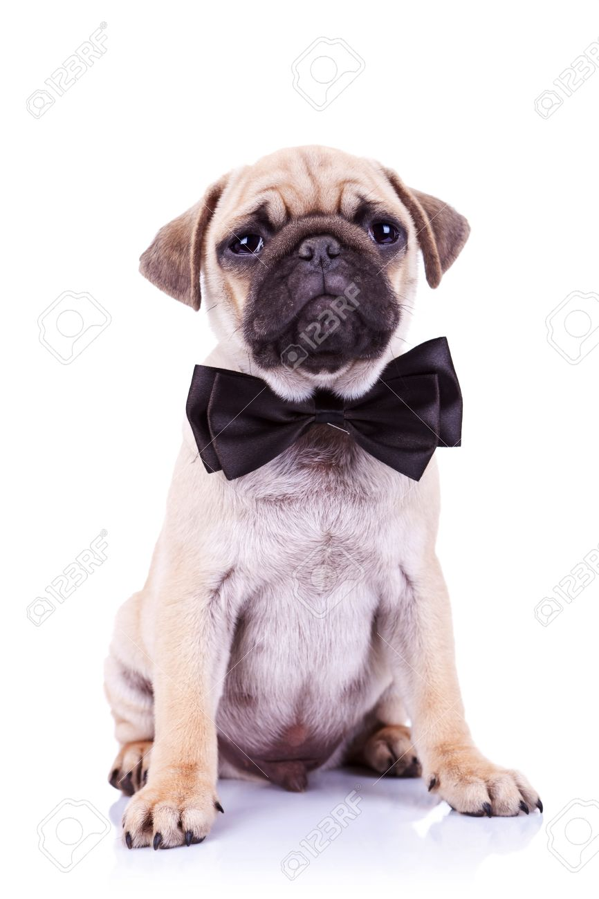 Fantastic Pug Bow Adorable Dog - 13310926-cute-mops-puppy-dog-with-neck-bow-sitting-and-looking-at-the-camera-on-white-background  Pic_422924  .jpg