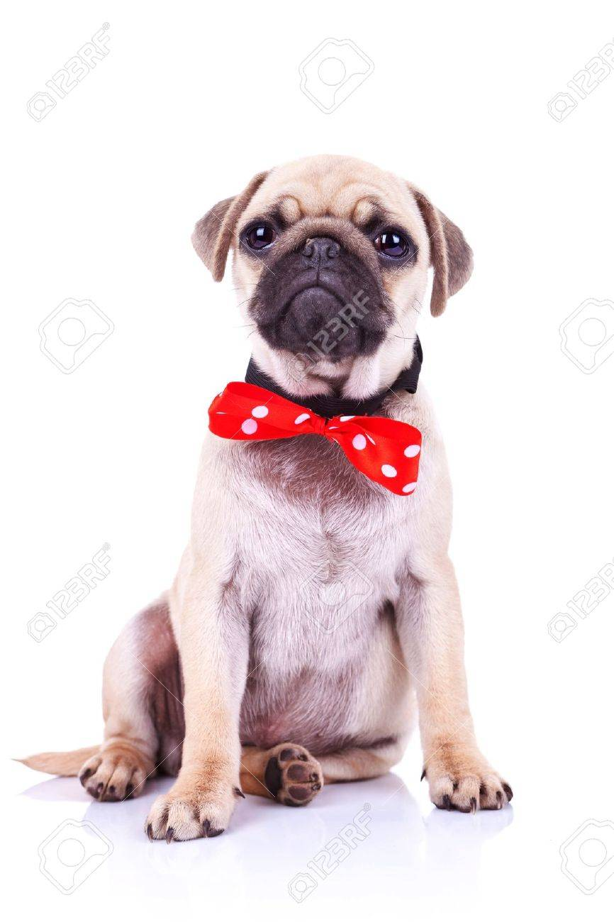Fantastic Pug Bow Adorable Dog - 15627767-cute-pug-puppy-dog-with-red-bowtie-sitting-and-looking-into-the-camera  Pic_422924  .jpg