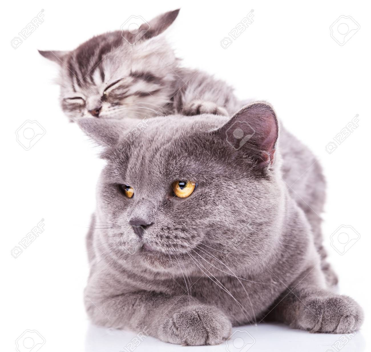 adorable kitten taking a nap on an adult english cat, on white background Stock Photo - 16058282