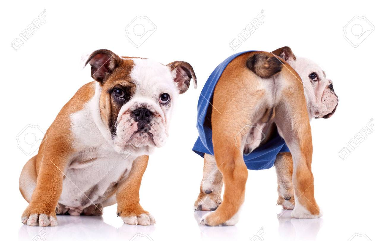Two English Bulldog Puppies Are Looking At Something One Is Stock Photo Picture And Royalty Free Image Image 28177807