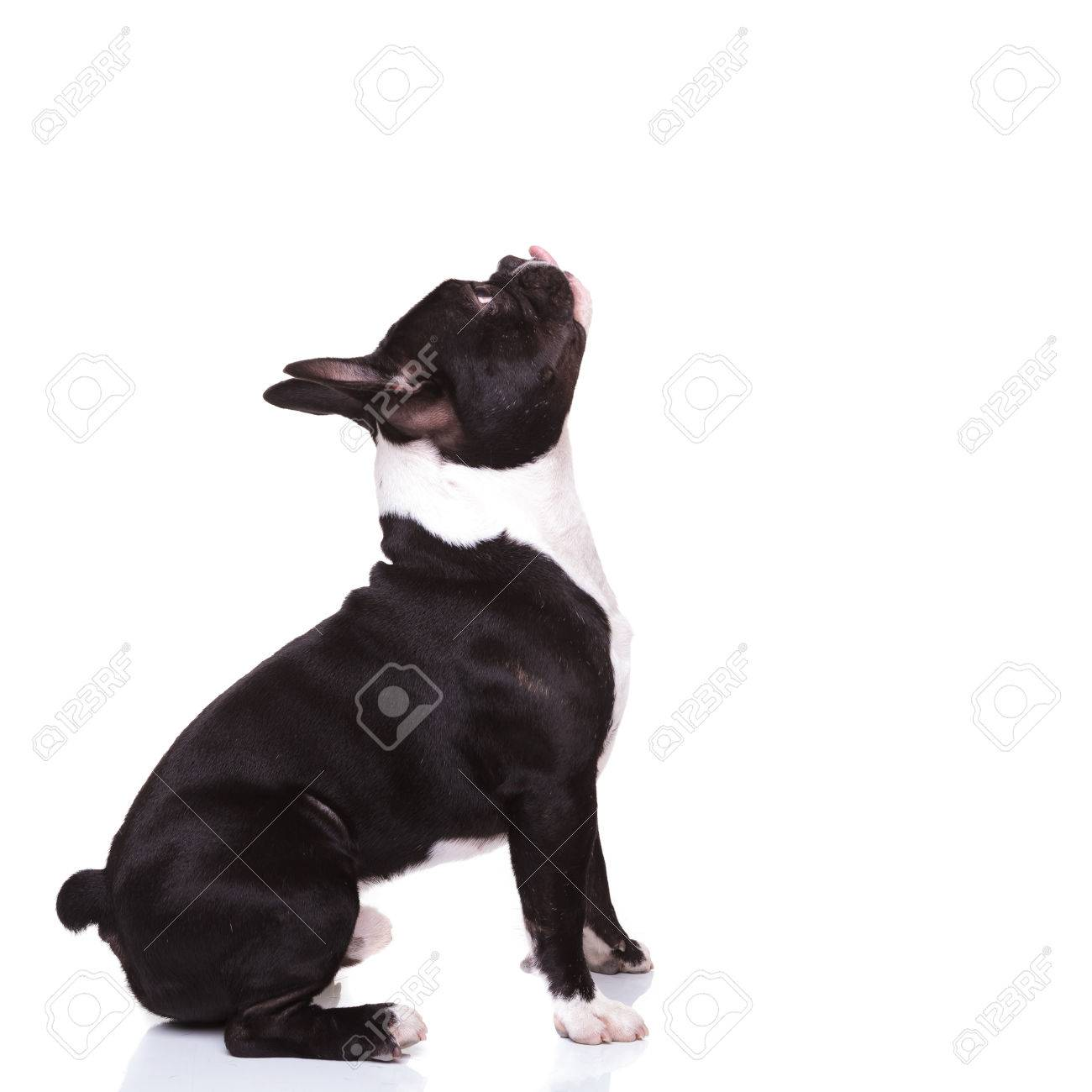 side view of a french bulldog with tongue out looking up to something ready to bite, isolated on white background - 47016704
