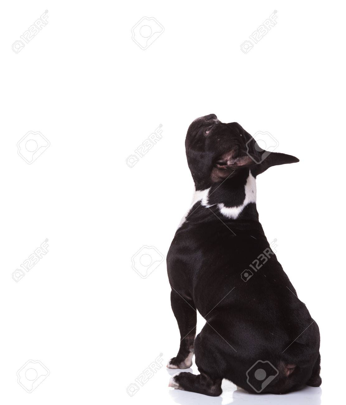 back view of a seated little french bulldog puppy looking up to something isolated on white background - 47016720