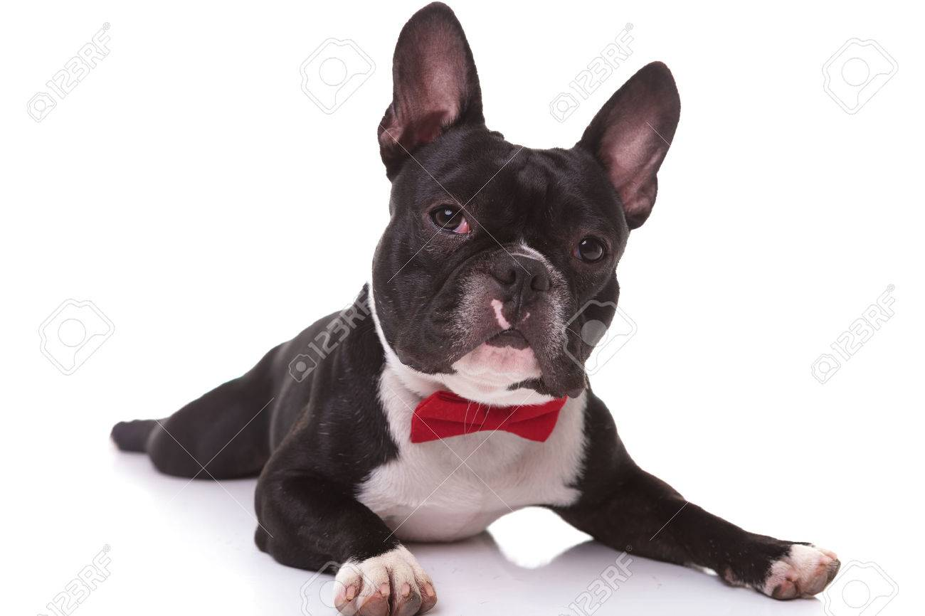 Good Puppies Bow Adorable Dog - 47016751-adorable-french-bulldog-puppy-wearing-bow-tie-lying-down-on-white-background  Image_479112  .jpg