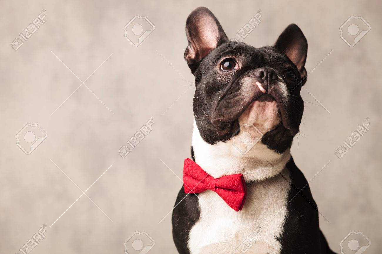cute close portrait black and white french bulldog wearing a red bowtie while posing looking up - 53816252