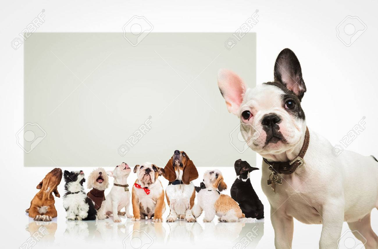 black and white french bulldog puppy standing in front of a large group of dogs , all looking up at a big blank billboard - 56347929