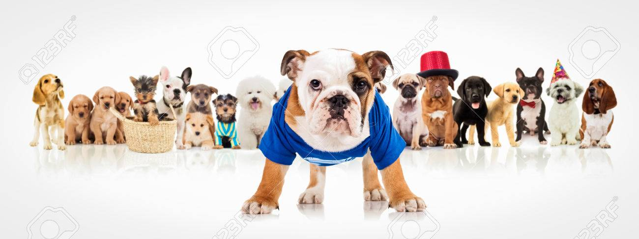 english bulldog puppy wearing blue clothes standing in front of a large group of dogs on white background - 56347977