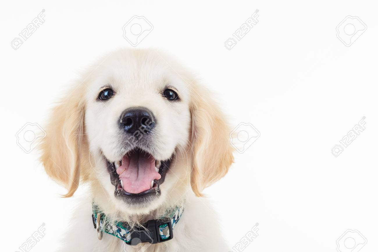 Happy Panting Golden Labrador Retriever Puppy Dog With Mouth Stock