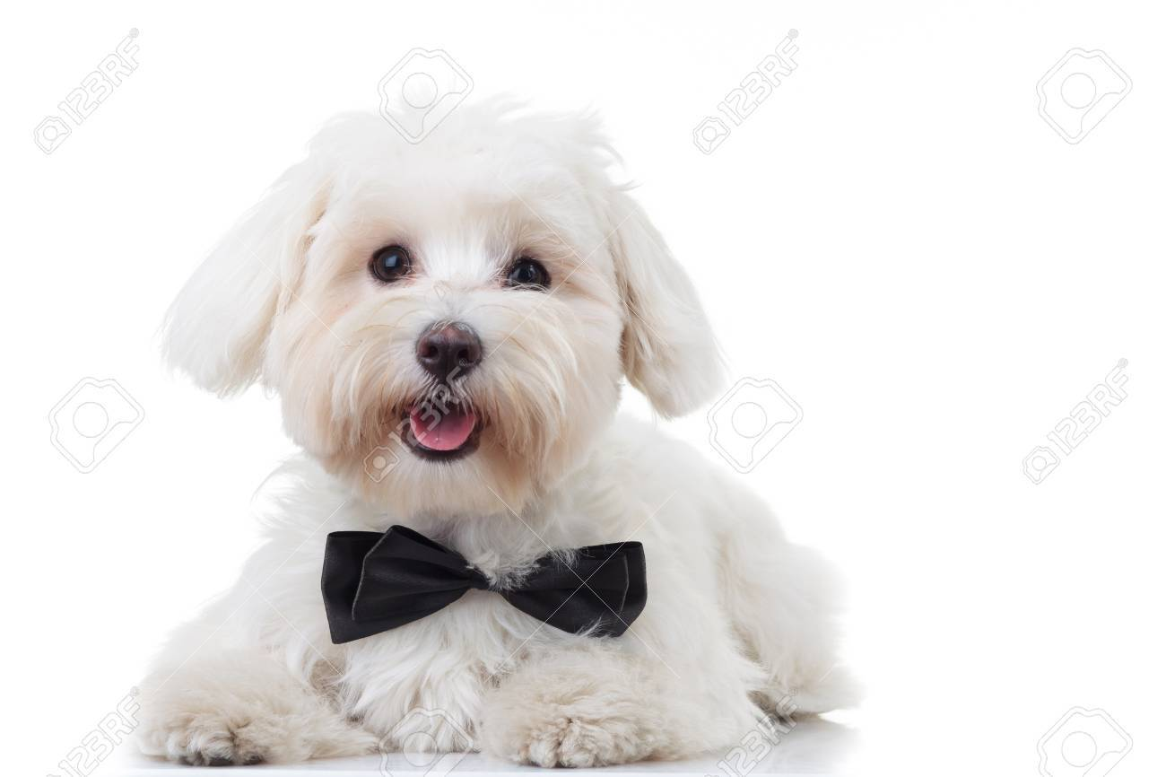panting white bichon puppy wearing bowtie isolated on white background - 72396761