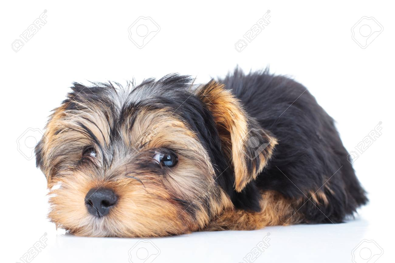 Tired Little Yorkie Puppy Dog On White Background Stock Photo Picture And Royalty Free Image Image 90062914