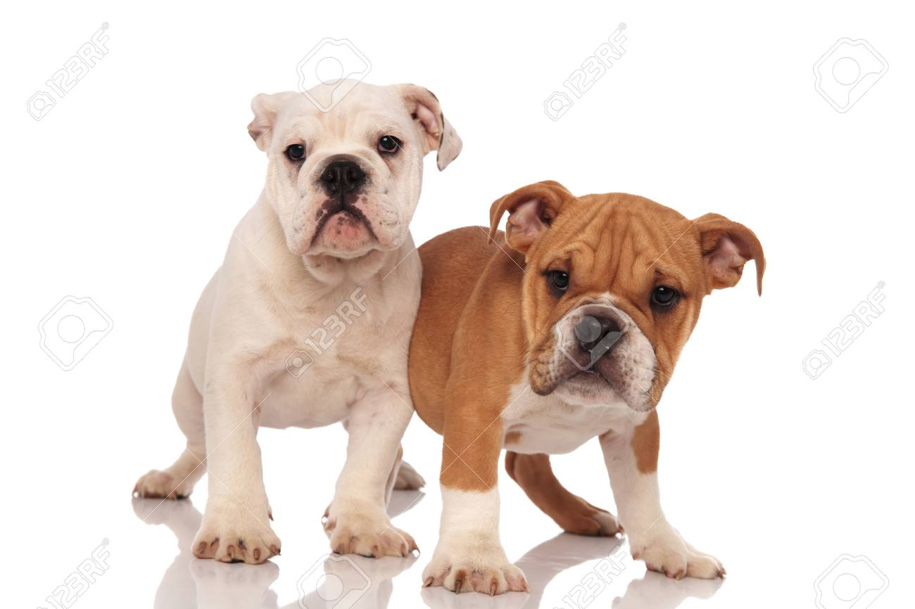 Two Adorable English Bulldog Puppies Playing Together On White