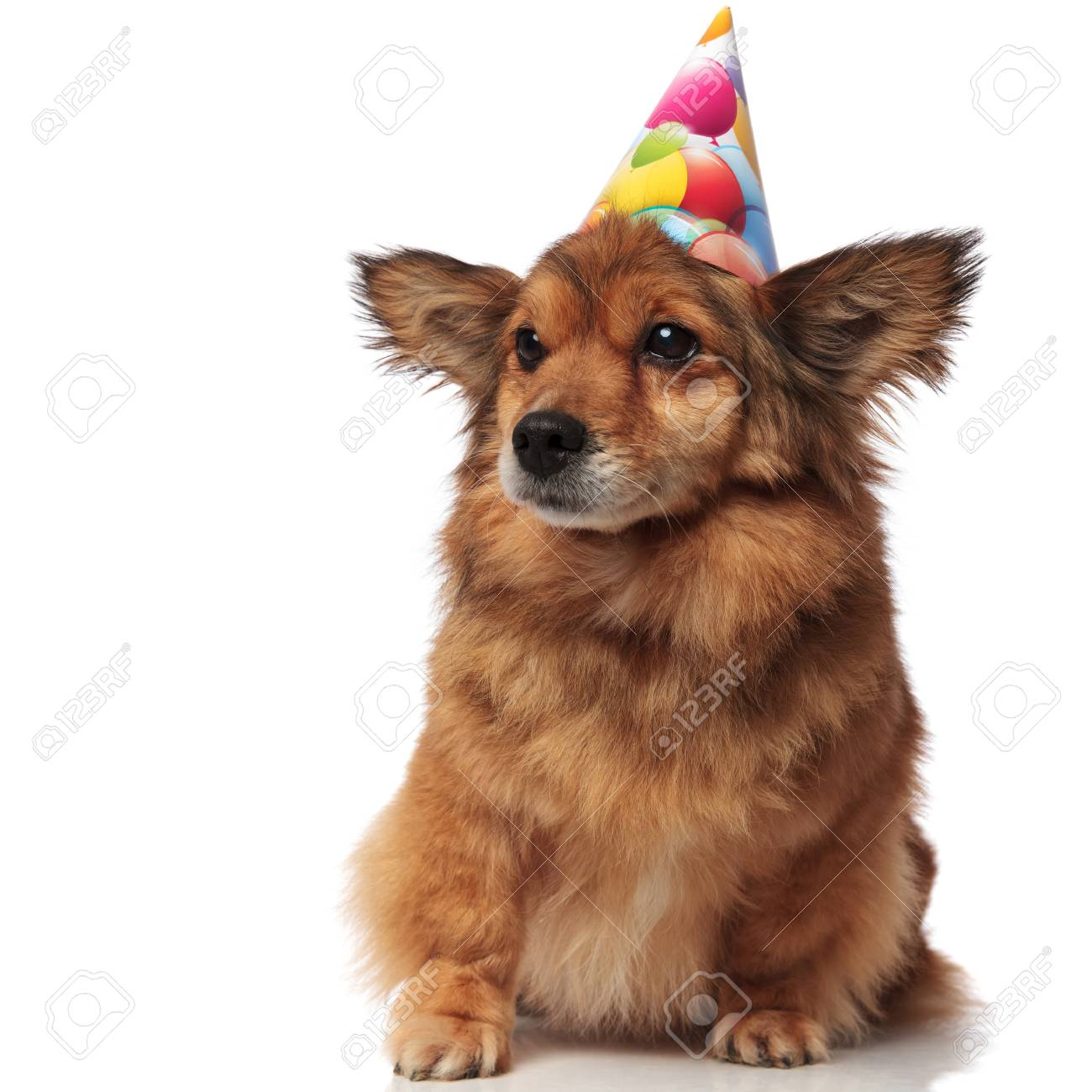 Curious Brown Seated Dog With Birthday Hat Looks To Side On White Background Stock Photo