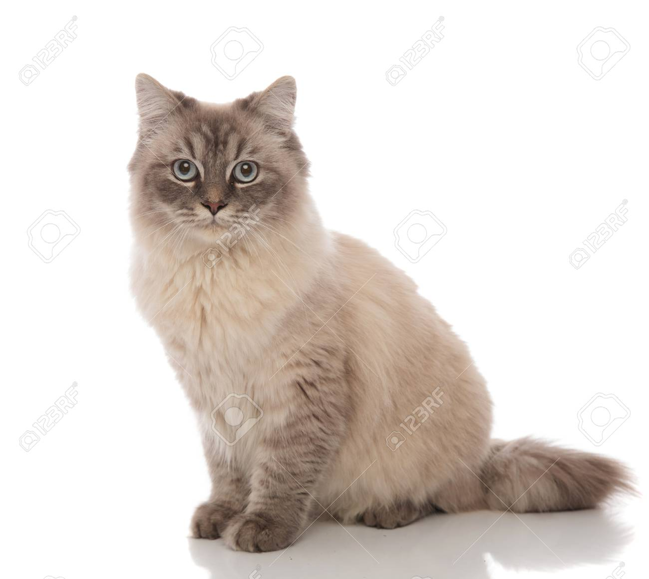 adorable grey cat with blue eyes sitting on a white background - 99575777