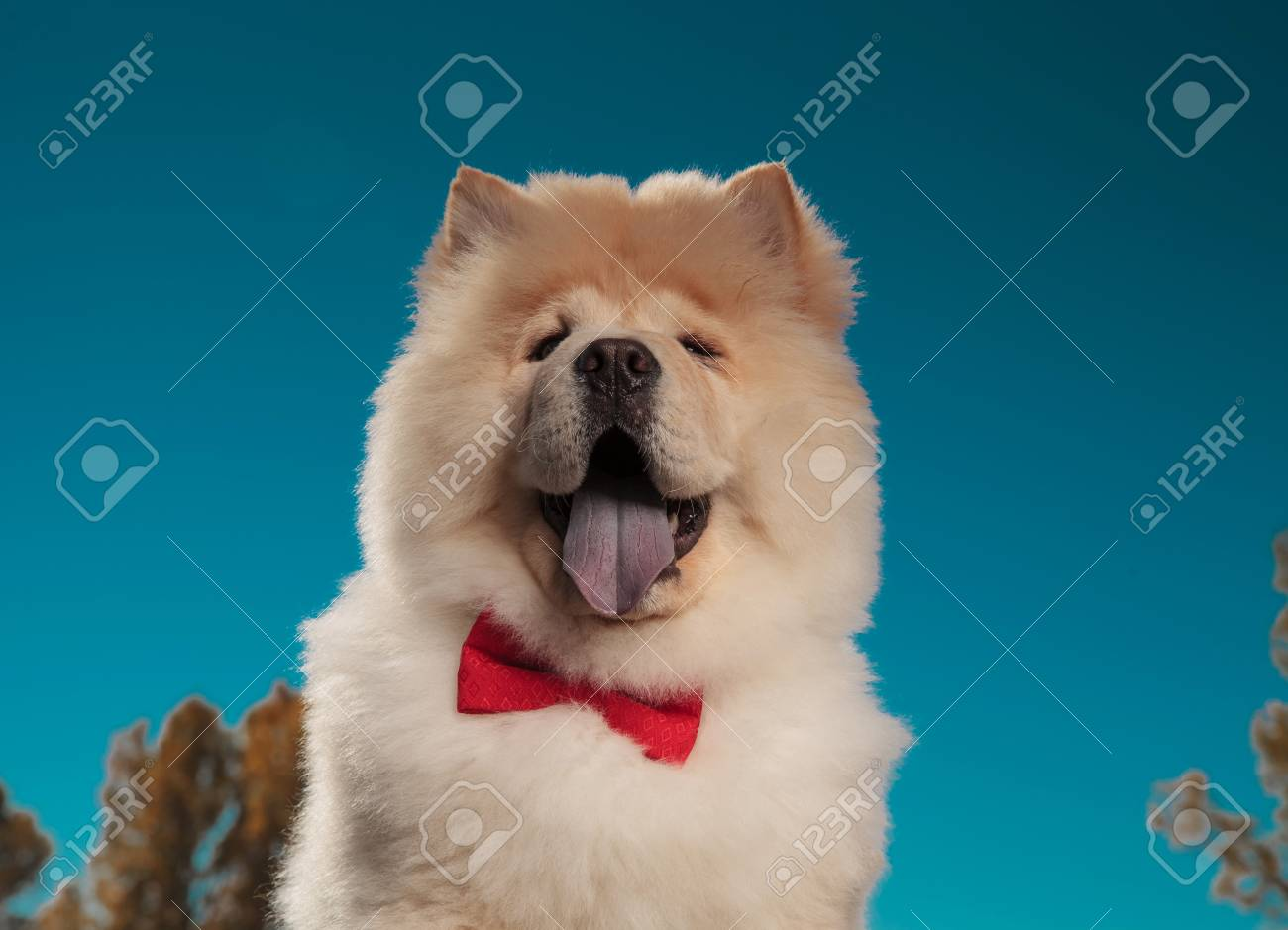 portrait of an adorable chow chow puppy dog wearing bowtie and