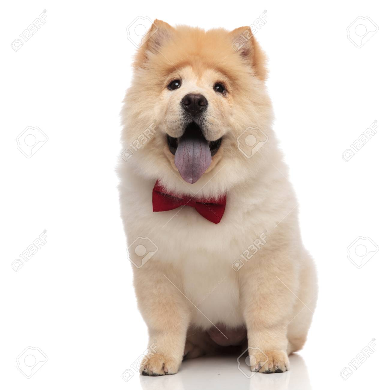 gentleman chow chow sitting on white background and looking excited while panting - 116788754