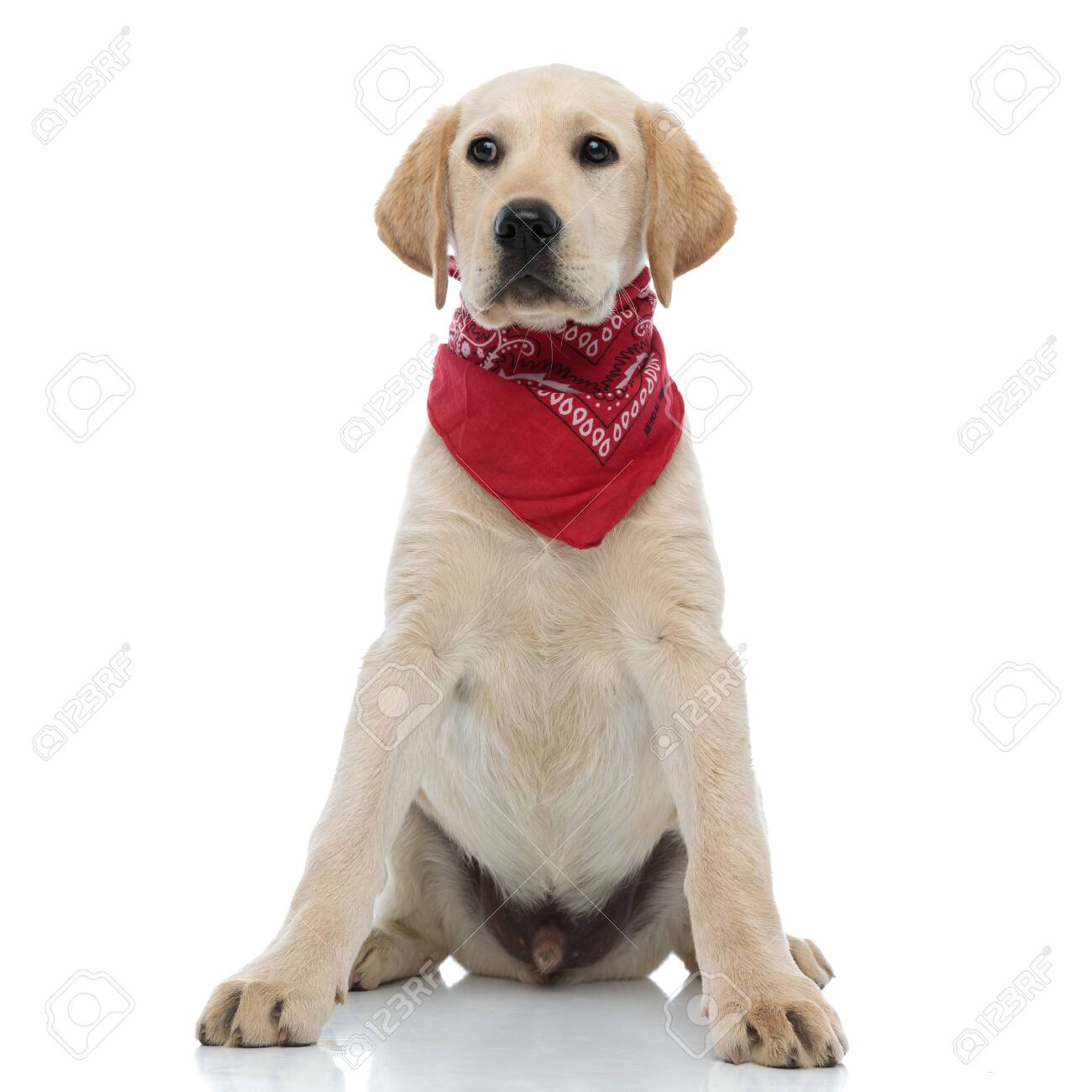 beautiful labrador retriever puppy wearing red bandana looks to side on white background - 129432120