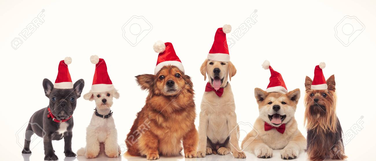 group of adorable santa dogs in a row on white background - 135036642