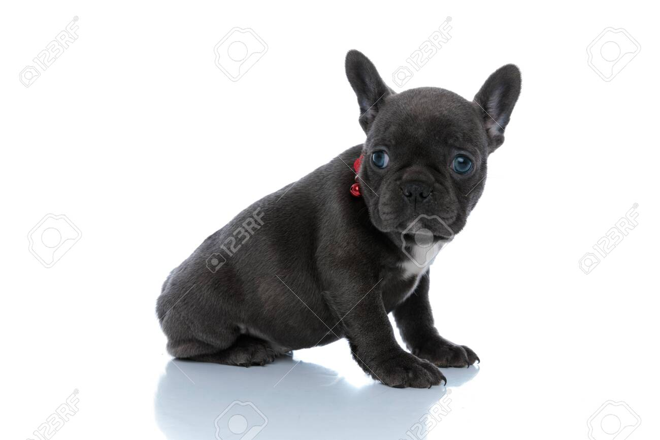 Side view of a focused French bulldog cub wondering and waiting while wearing a red collar and sitting on white studio background - 139091391