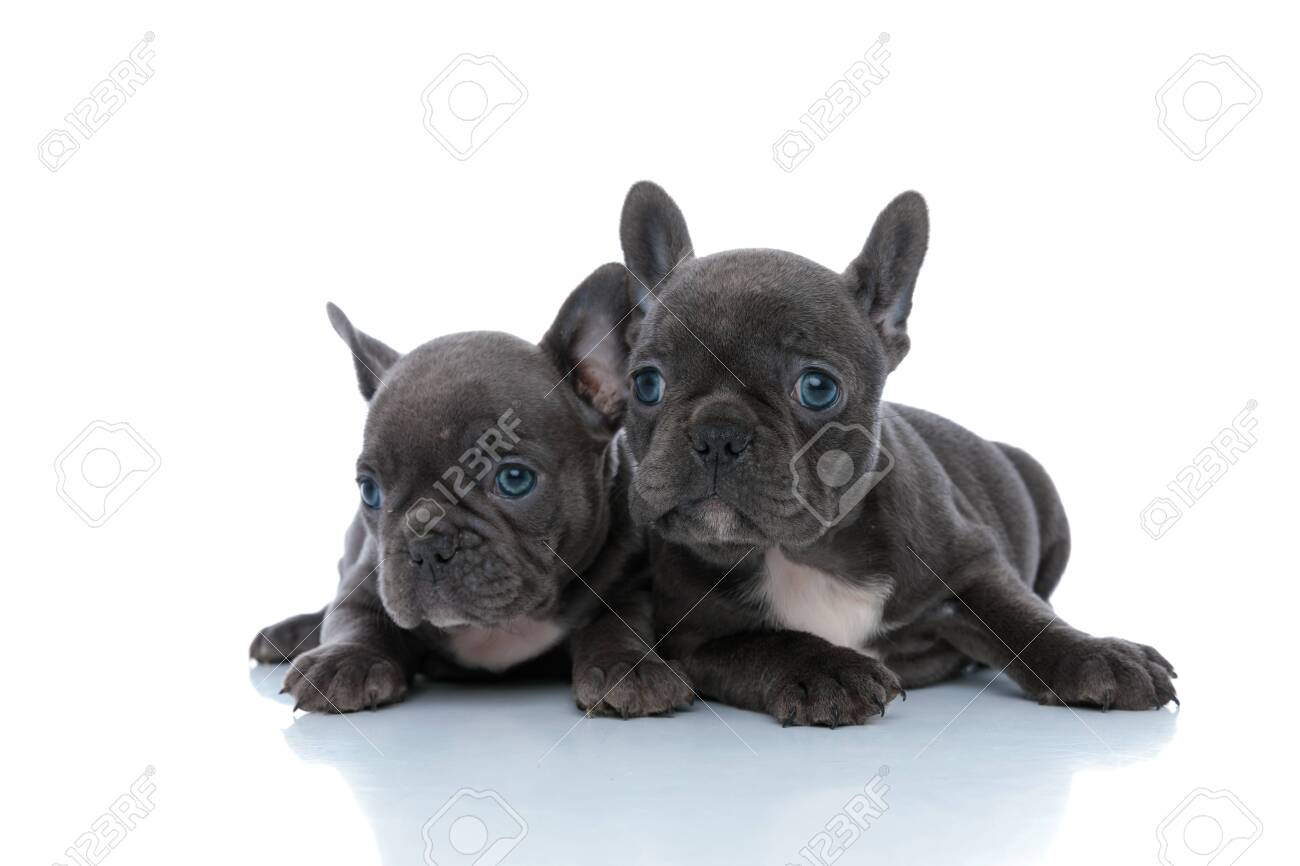 Two eager French bulldog cubs curiously looking away while laying down side by side on white studio background - 140314297