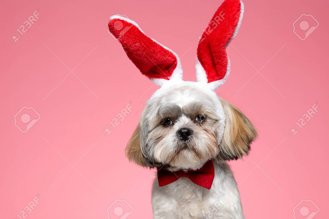 Adorable Shih Tzu Puppy Wearing Bunny Ears And Bowtie On Pink Stock Photo Picture And Royalty Free Image Image 150946757